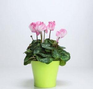 planta refacuta